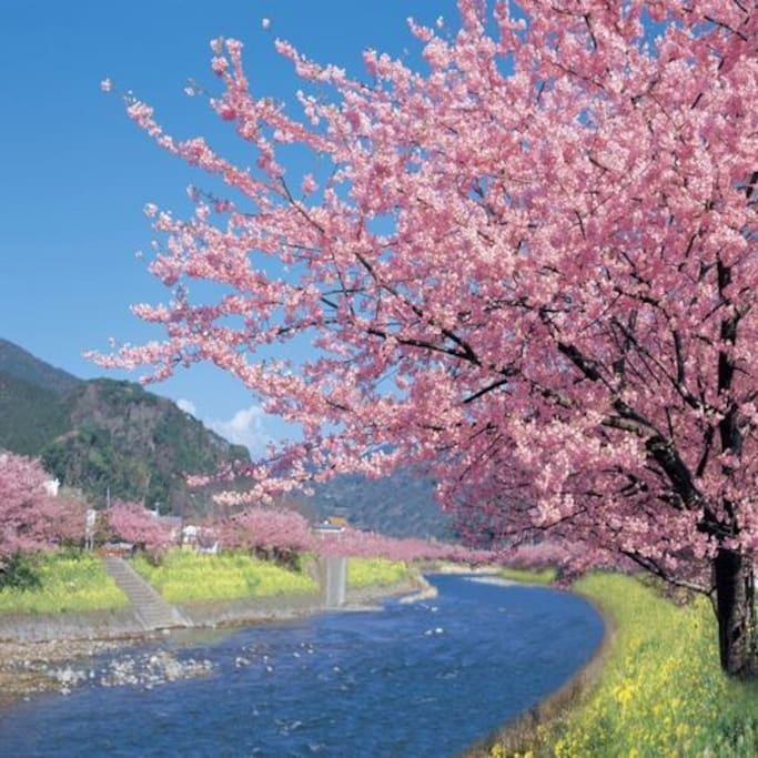 Kawazu Cherry Blossom Festival from 2/10 to 3/10.  Ideal for a day trip from the hotel.