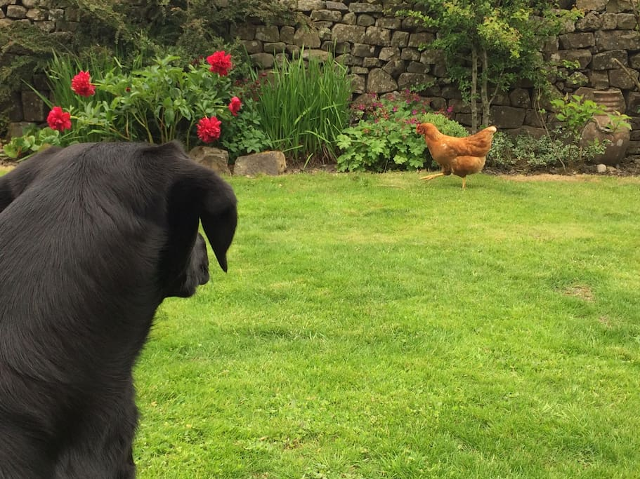 Molly wanting to play with our free range hens.