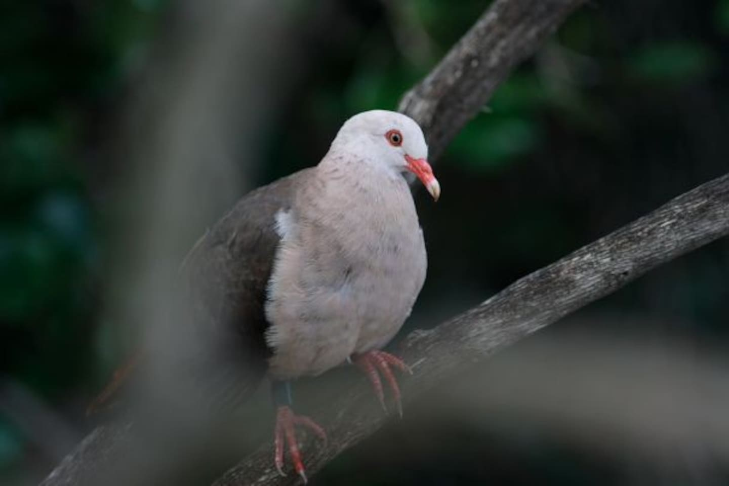 The pink pigeon (Nesoenas mayeri) is a species of pigeon in the family Columbidae endemic to Mauritius. The pink pigeons became nearly extinct in the 1990s and is still very rare. It is the only Mascarene pigeon that has not gone extinct. It was on the brink of extinction in 1991 when only 10 individuals remained, but its numbers have increased due to the efforts of the Durrell Wildlife Conservation Trust since 1977