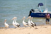The resident pelicans always welcome the fishermen back to the beach.   I wonder what they want?