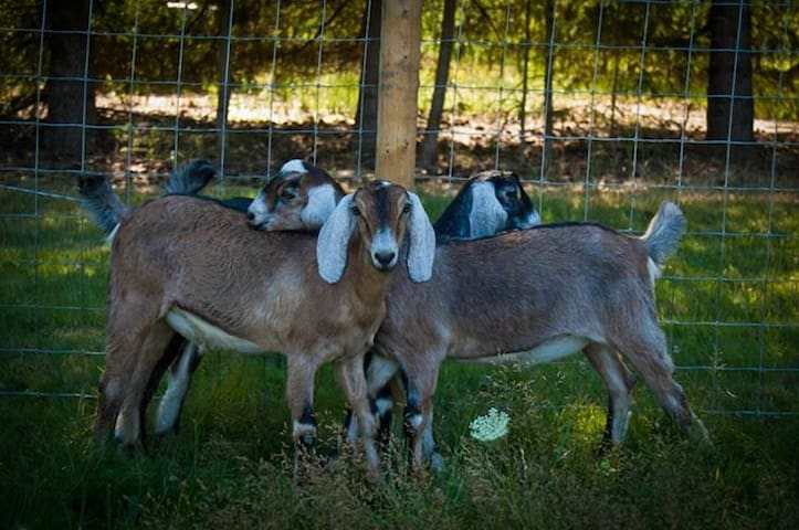 "Farm animals... we currently have 2 nigerian dwarf goats...Elvis and Kale and one farm cat ""Charlotte""."