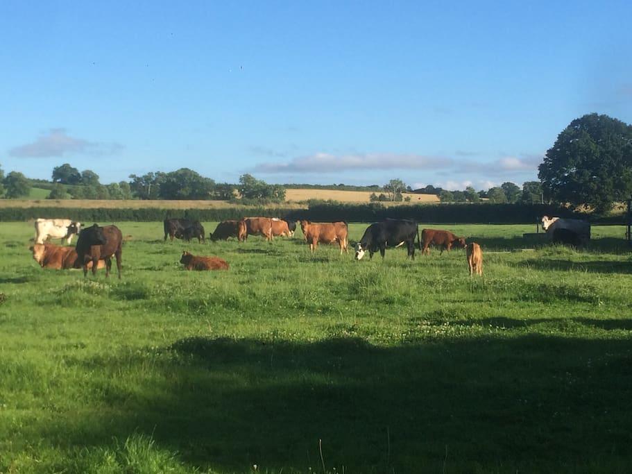 Cattle in the evening summer sun...