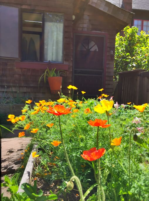 California poppies by the front door.