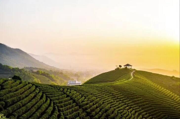 茶田的黄昏