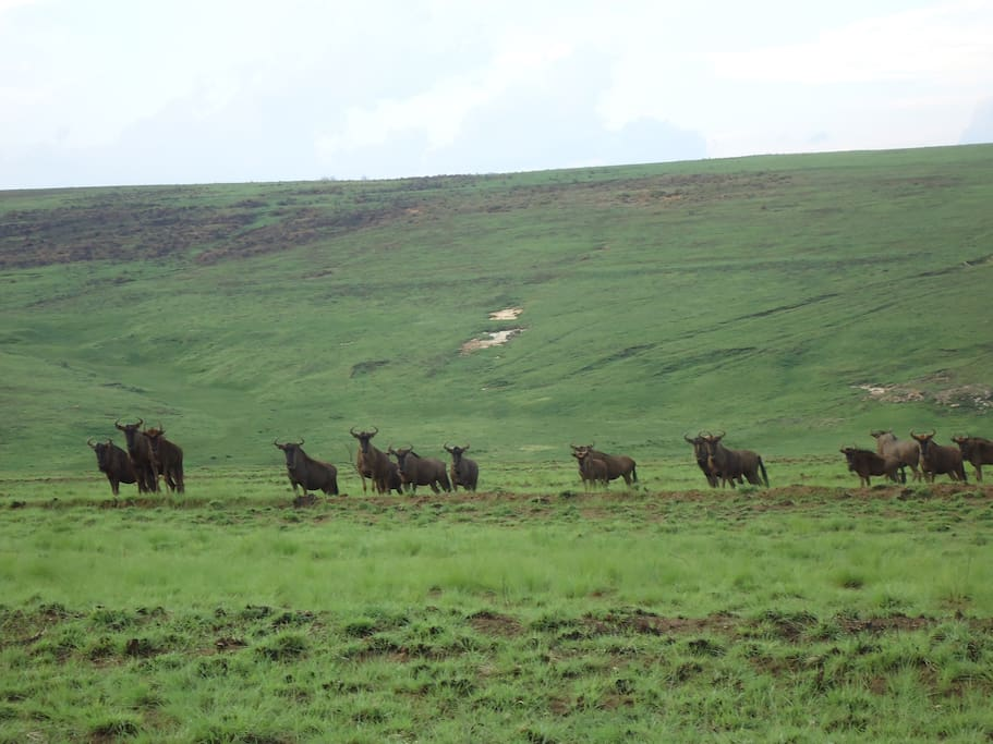 Herds of antelope free range