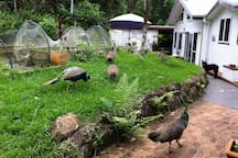 Five beautiful young and friendly peacocks, one chook, two dogs and cat enjoy the property.