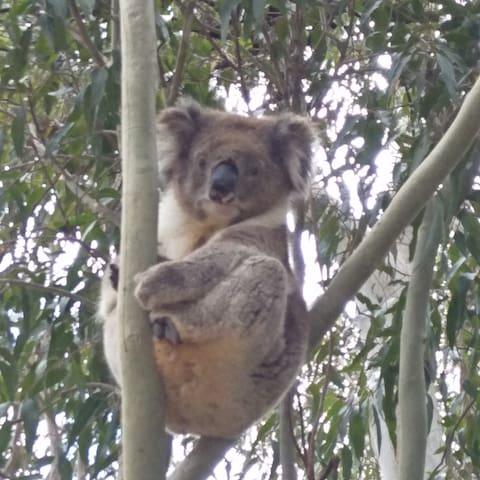 Koalas call by often