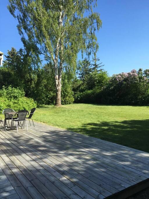 Birketræet i sol hen på eftermiddagen