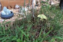 Luna Moth Near Rock Garden