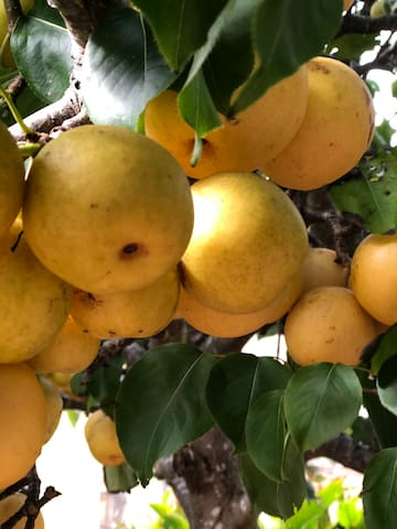 Nashi pears in the orchard