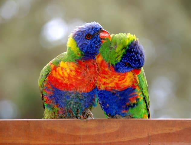 Pair of Rainbow Lorikeets in grooming mode!
