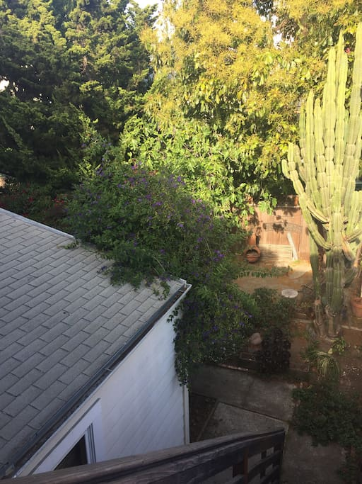 The backyard with its giant cactus