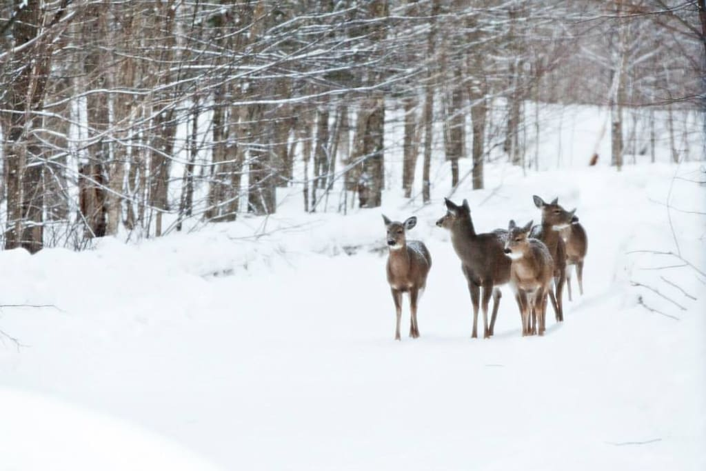 daily visits from deer in the winter