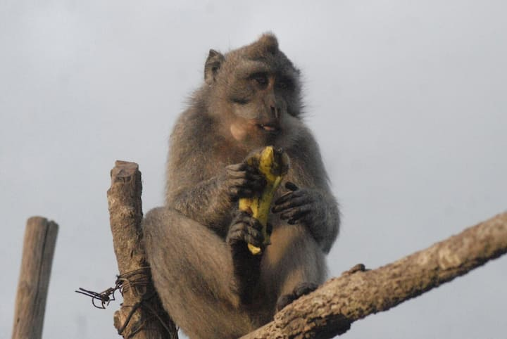 Monkey at the top of Mt Batur