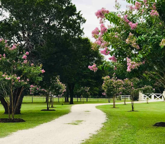 Crape Myrtles Line the Private Lane