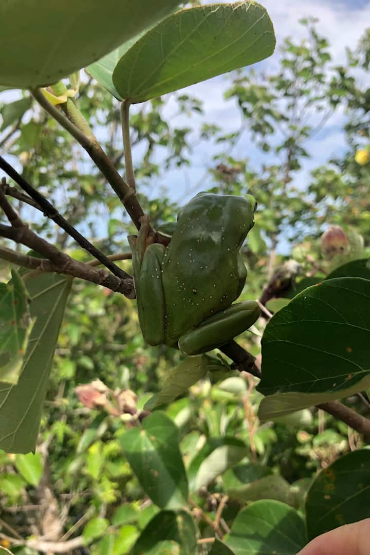 Meet the resident tree frogs