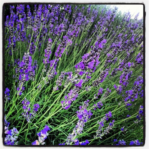 Our fragrant lavender