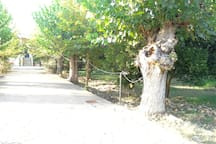 At the right of the alleyway there are lemon trees and oragne trees, among other fruit trees.