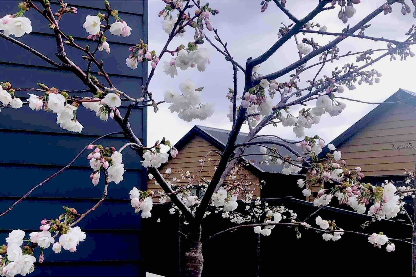 Our beautiful cherry blossoms !Spring is here you can't miss this gorgeous season Only from the heart ❣ can you touch the sky  -Rumi