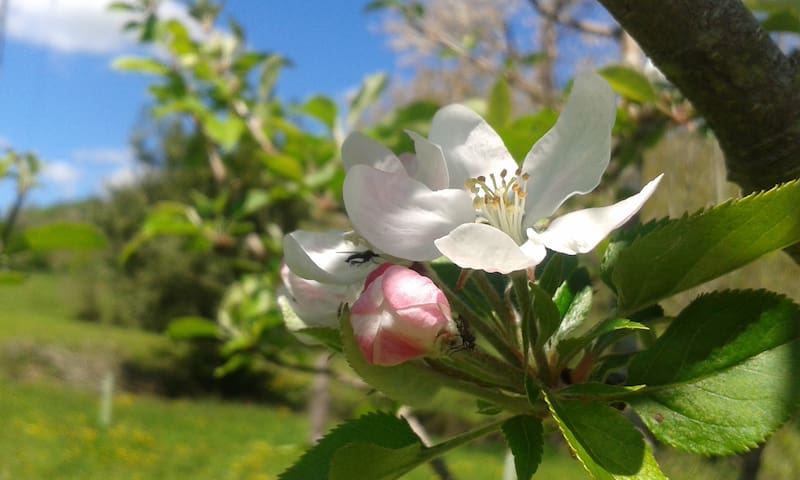 La flor de nuestros manzanos