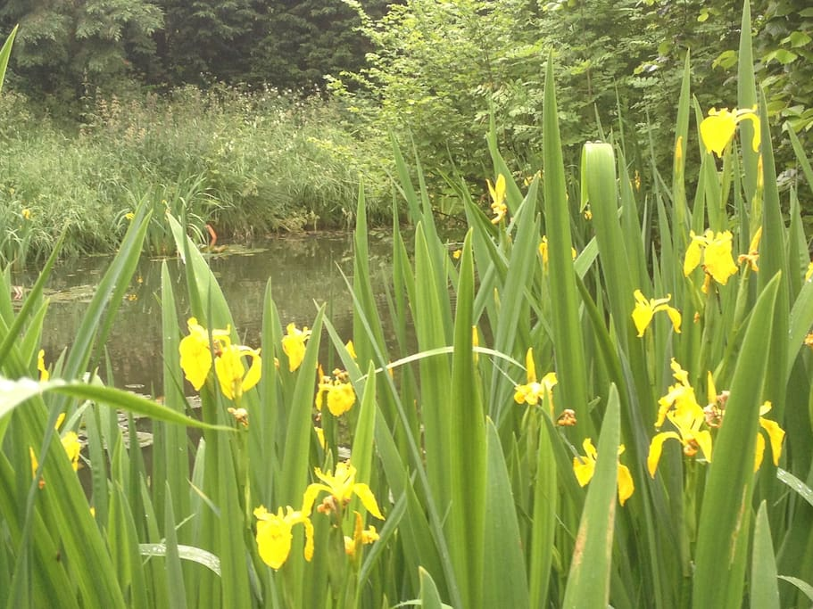 The pond - see newts, irises, waterlilies, dragonflies etc