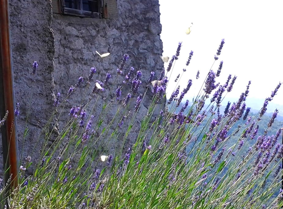 Lavender, Butterflies, Bees and views.