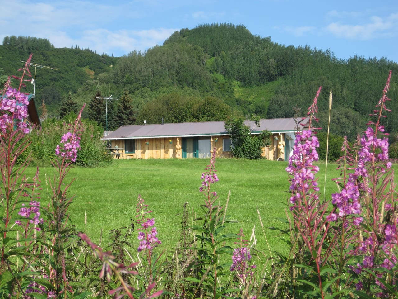 Fireweed in front of cabin with lawn- sandhill cranes land here