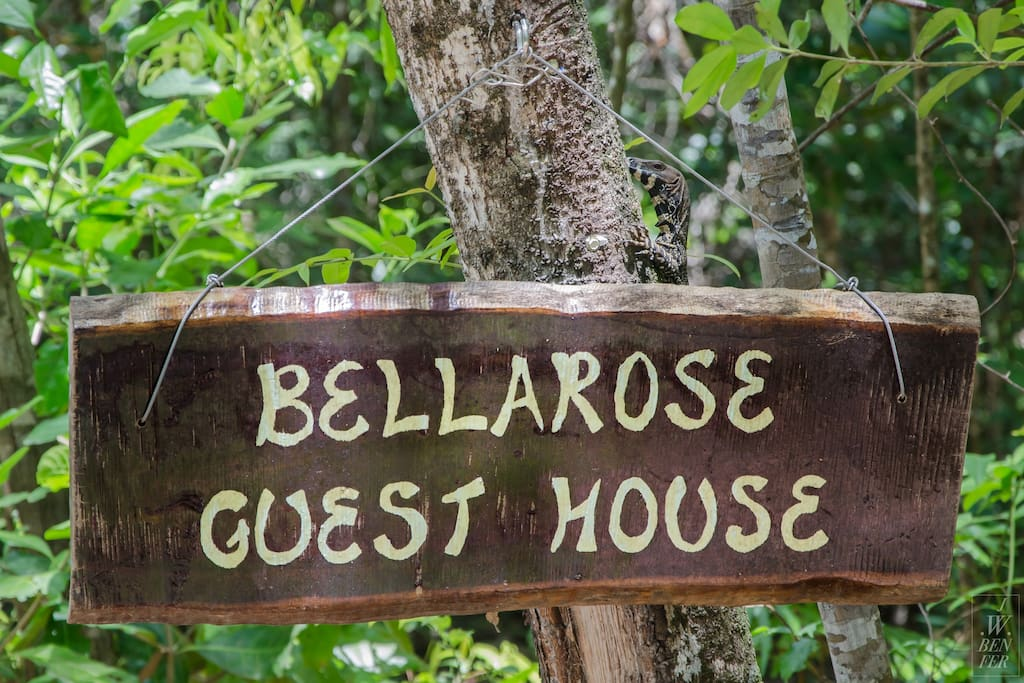 Baby goanna behind Bellarose sign