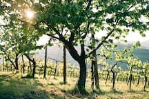 The organic grapes are grown from decades-old vines.
