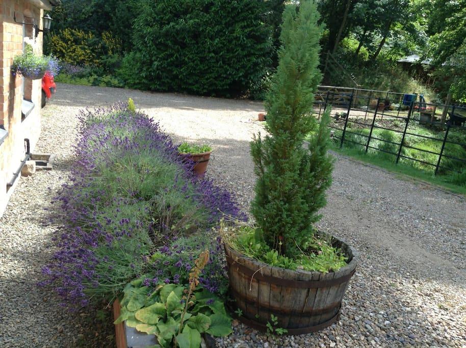 Lavender outside cottage