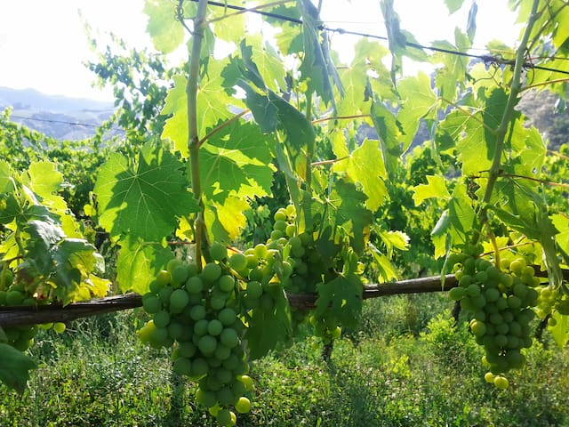Here the grapes enjoy the afternoon sun and hillside atmosphere.
