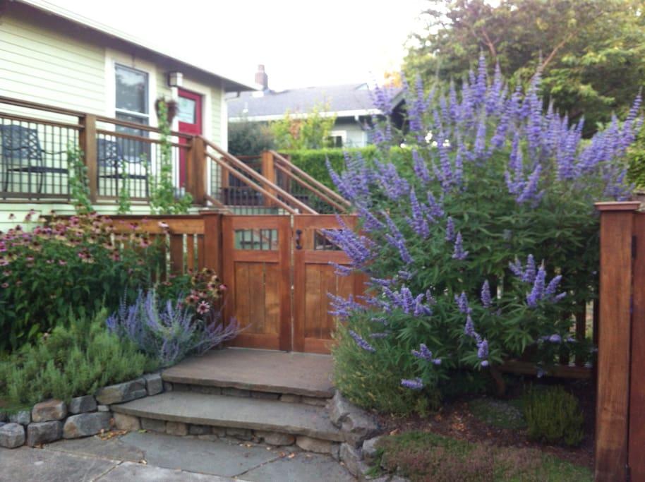 Backyard entrance, purple perennial is Vitex agnus castus