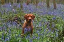Spring Bluebells in Parsonage wood