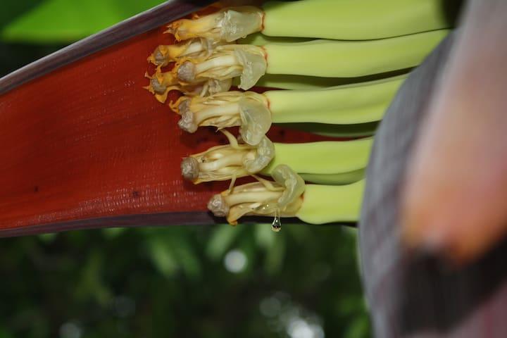 Young Banana racime and its nectar