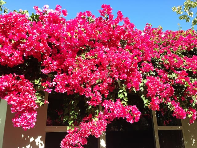 Bougainvilleas in full bloom