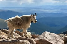 This guy lives at the summit of Mt. Evans. Look at that view, too!