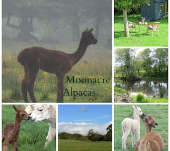 Moonacre Farm - the home of Moonacre Alpacas - Dolton - Pondok