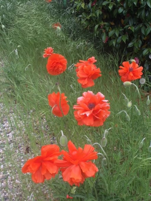 The Poppies bloom in May.....
