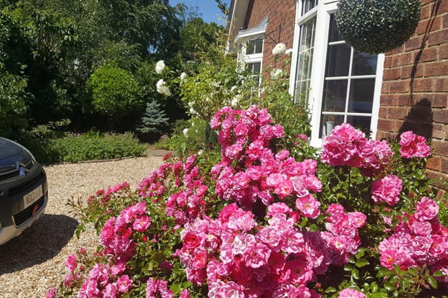 Roses in front garden, next to hard standing for parking.