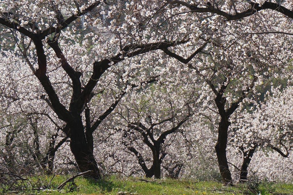 Almond Blossom next to house