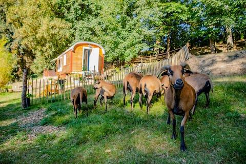 Wagon de cirque sur le pâturage de moutons
