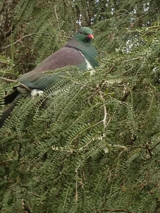Wood Pigeon in its natural habitat