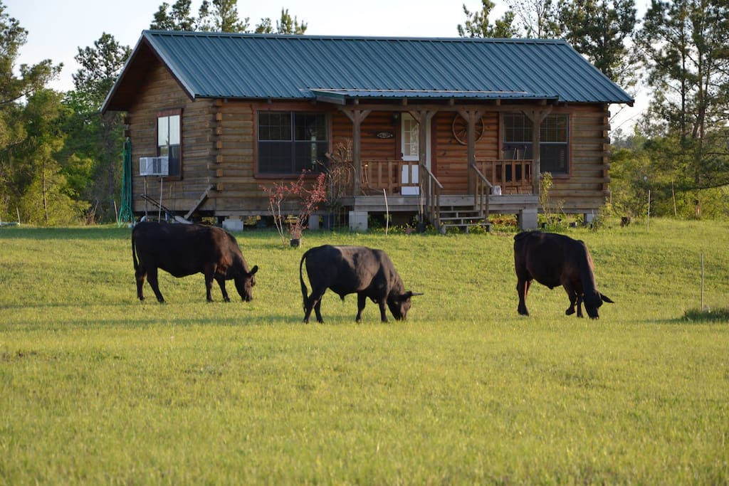 "A small herd of cattle keep the pasture ""mowed"" but they are contained elsewhere when guests are around."