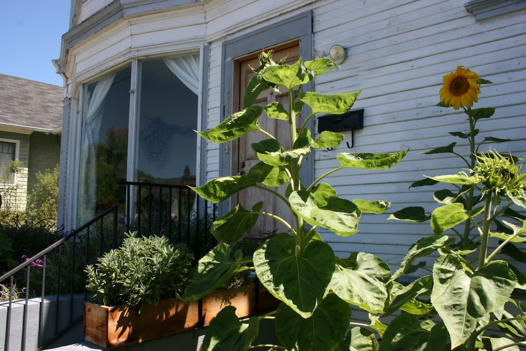 Bay window and front door obscured by towering sunflowers