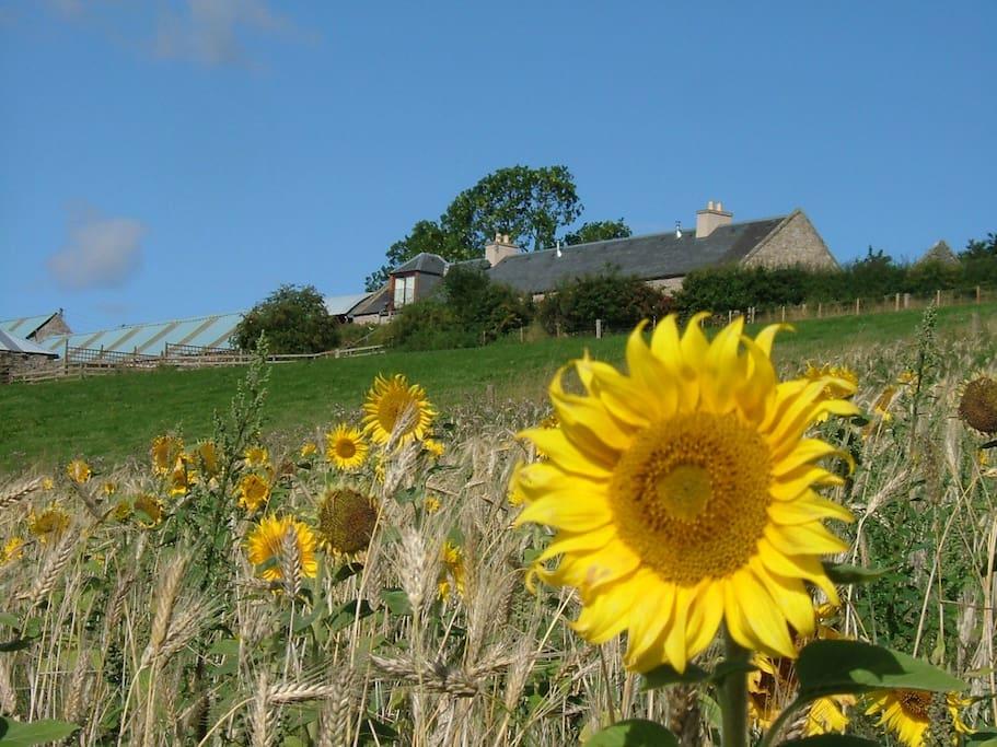 Sunflowers below Plum Tree Cottage