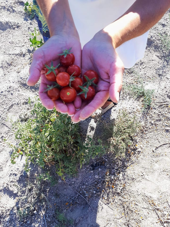 Anydro farm's cherry tomatoes
