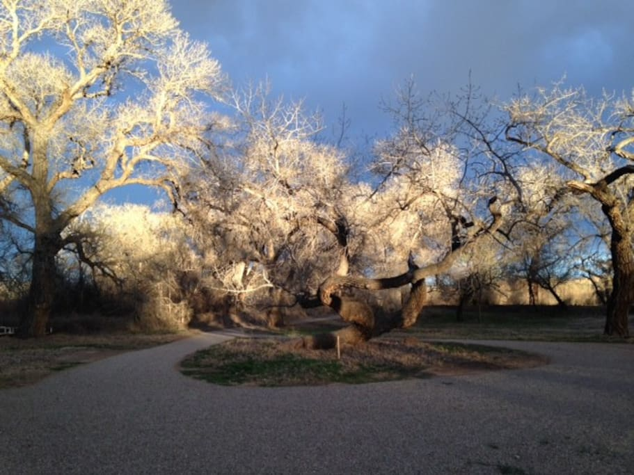 Surrounded by magically NM cottonwood trees