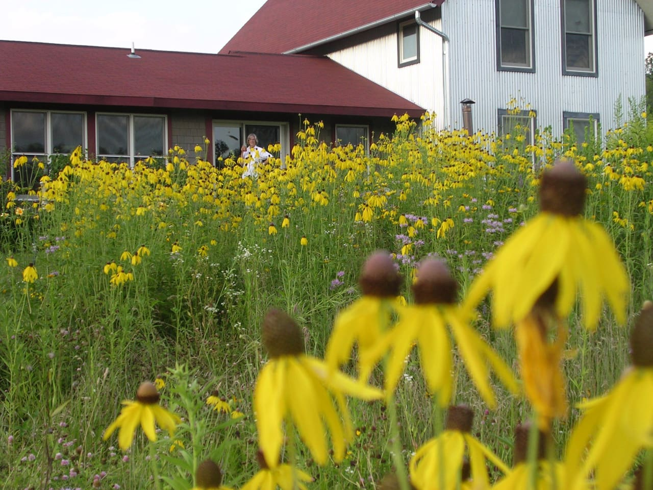 Pairie coneflowers of July-August