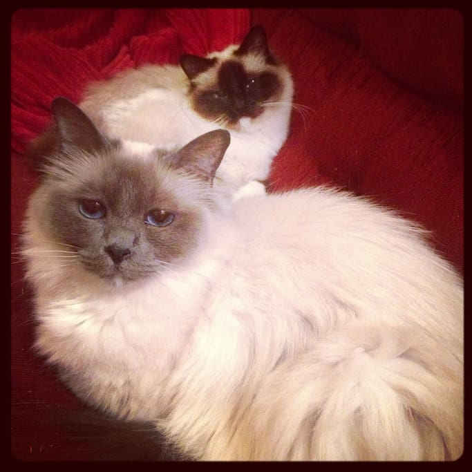 These two rascals (Birman cats) will be your house mates. Ruby Blue is at the front, Charlie Brown is at the back
