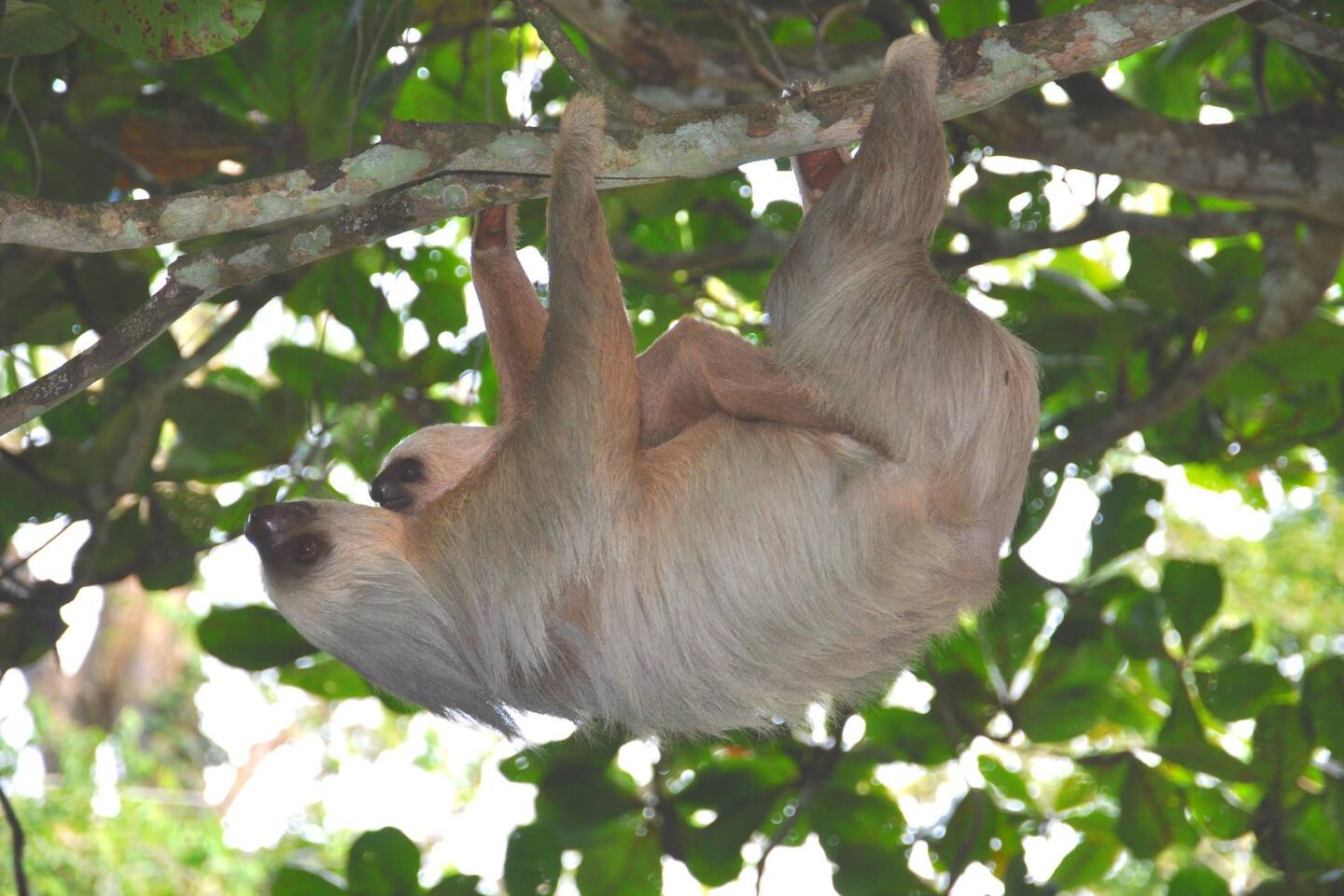 The sloth that lives in our Almendra tree, carrying her baby.